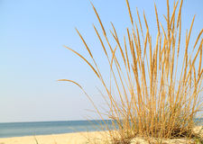 Landscape with a bush of ripe ears of grass. On the background of the seashore Royalty Free Stock Image