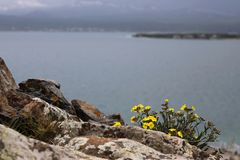 Landscape with a bush of yellow flowers on a rock. On a background of lake Royalty Free Stock Photo
