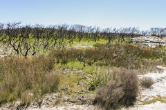 Landscape after bushfire. Booderee National Park. NSW. Australia royalty free stock photography