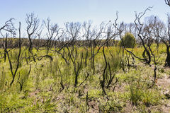 Landscape after bushfire. Booderee National Park. NSW. Australia Royalty Free Stock Photos
