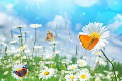 Landscape with butterflies on wildflowers daisies stock images