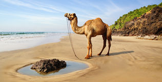 Landscape with camel,  India Stock Image