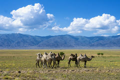Landscape with camels Stock Photos