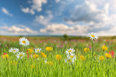 Landscape with camomile and dandelion Stock Image