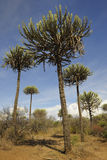 Landscape with Candelabra trees. Candelabra trees in dry landscape on the way to Lake Natron, Tanzania Royalty Free Stock Photo