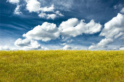 Landscape canola. Canola landscape with blue sky and puffy clouds Royalty Free Stock Photo