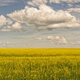 Blooming Canola Field with Cloudy Sky Stock Image