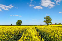 Landscape with canola field. Royalty Free Stock Photos
