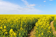 Landscape with canola field. Stock Photography