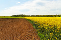 Landscape with canola field. Royalty Free Stock Image
