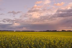 Canola Sunset on the Prairie Stock Photo