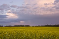 Canola Field at Sunset Royalty Free Stock Photos