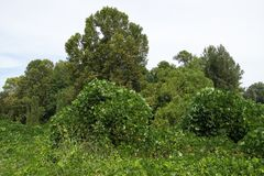 Kudzu Vine Covered Trees In North Mississippi. royalty free stock images