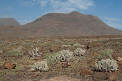 Landscape with cardones de Jandia Euphorbia handiensis. stock photography