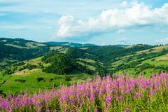 Landscape in the Carpathians with fireweed Stock Image