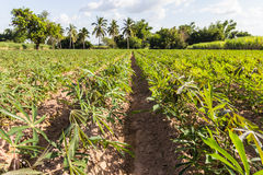 Landscape cassava Royalty Free Stock Photo