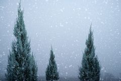 Landscape of Christmas tree pine or fir with snowfall on sky background in winter. Vintage color tone and rustic style Royalty Free Stock Photography