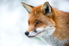 Fox in Snow. Landscape close up of fox head and shoulders in profile against a background of snow royalty free stock images