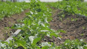 Young leaves of potatoes. Landscape and close up of green potatoes field stock video footage