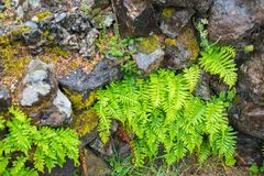 Bright Green Fern Growing out of Wet Stony Wall in the Rain. Landscape closeup of bright green fern growing out of wet stony wall with moss. Oregon coast stock photos