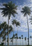 Landscape of coconuts trees in ivory coast near the sea Royalty Free Stock Image