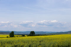 Landscape of cole fields and blue sky Stock Images