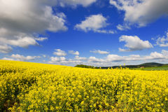 Landscape with cole seed Royalty Free Stock Image