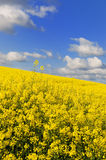 Landscape with cole seed Stock Image