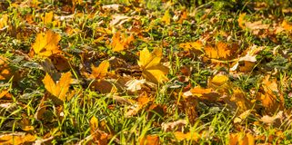 Landscape of colorful fall leaves on forest floor Royalty Free Stock Photo