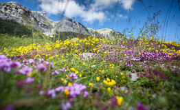 Landscape of colorful flowers growing on high mountain Royalty Free Stock Photo