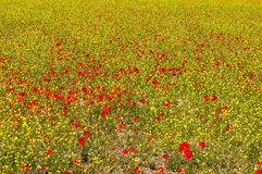 The landscape of a colorful poppy field - a sea of flowers between green rye. royalty free stock photos