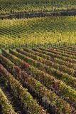 Landscape of colorful vineyards Royalty Free Stock Images