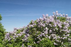 Landscape with colour lilac Stock Images