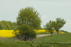 Landscape with colza, coleseed, field. Colza, coleseed, field with green trees in front line stock photos