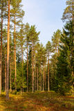 Landscape in the coniferous forest. In early autumn Royalty Free Stock Photo