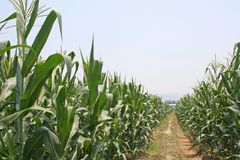 Landscape of corn farm and blue sky stock photography