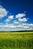 Landscape of corn field Royalty Free Stock Photography