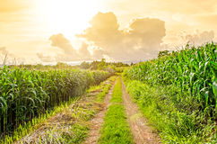 Landscape of corn field and local road Royalty Free Stock Images