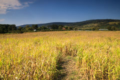 Landscape Corn Field Rural Virginia. Landscape of a rural cornfield glowing in sunlight on a farm in Bluemont Virginia in late September - ready to harvest Royalty Free Stock Images