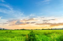 Landscape of cornfield and green field with sunset on the farm,. Green cornfield and beautiful blue sky at local-city Royalty Free Stock Image