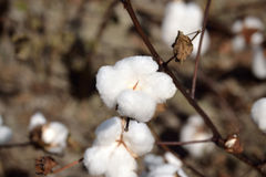 Landscape Cotton Boll on Plant Royalty Free Stock Images