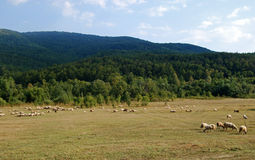 Landscape countryside. Meadows forest hills sky sheeps stock image