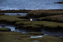 Landscape in County Mayo. Landscape with sheep at County Mayo, Ireland Stock Images
