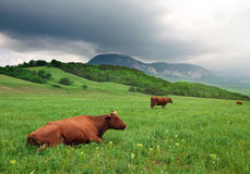 Landscape with cow and cloudy sky. Stock Images