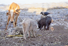 The cow crow and piglets feeding Stock Photography