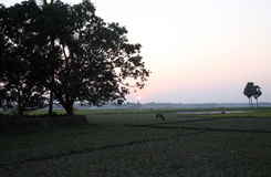 Landscape with a cow that graze grass at sunset in Sundarbans, West Bengal Stock Photography