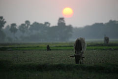 Landscape with a cow that graze grass at sunset in Sundarbans, West Bengal. Landscape with a cow that graze grass at sunset in Sundarbans region, West Bengal Stock Image