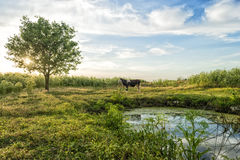 Landscape of a cow on green grass and evening sky Stock Images