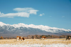 Landscape with cow Royalty Free Stock Photo