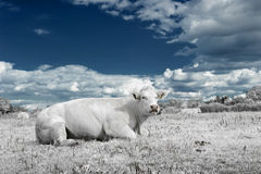 Landscape with cow in white and blue tone Royalty Free Stock Image